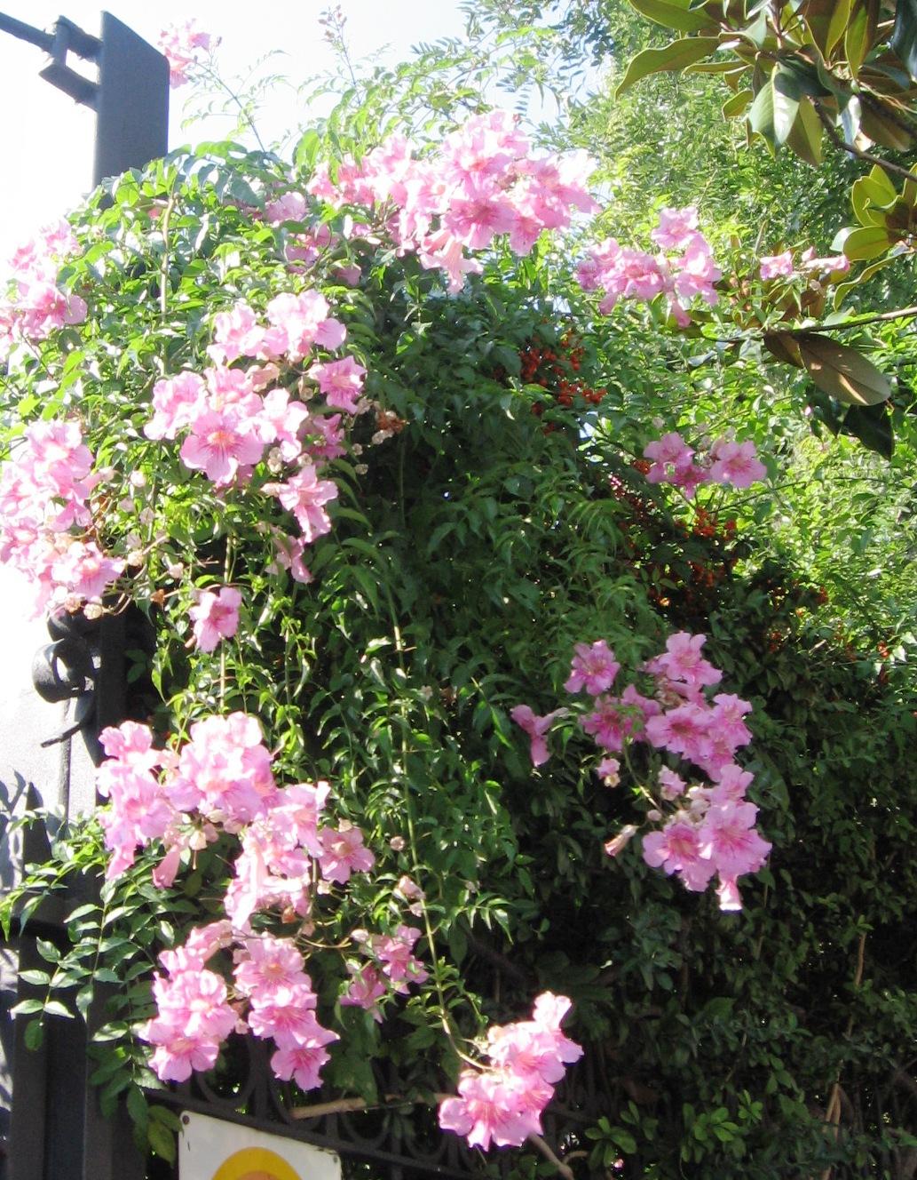 Flowers_PinkTrumpetVine